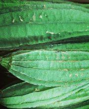 sisinga
